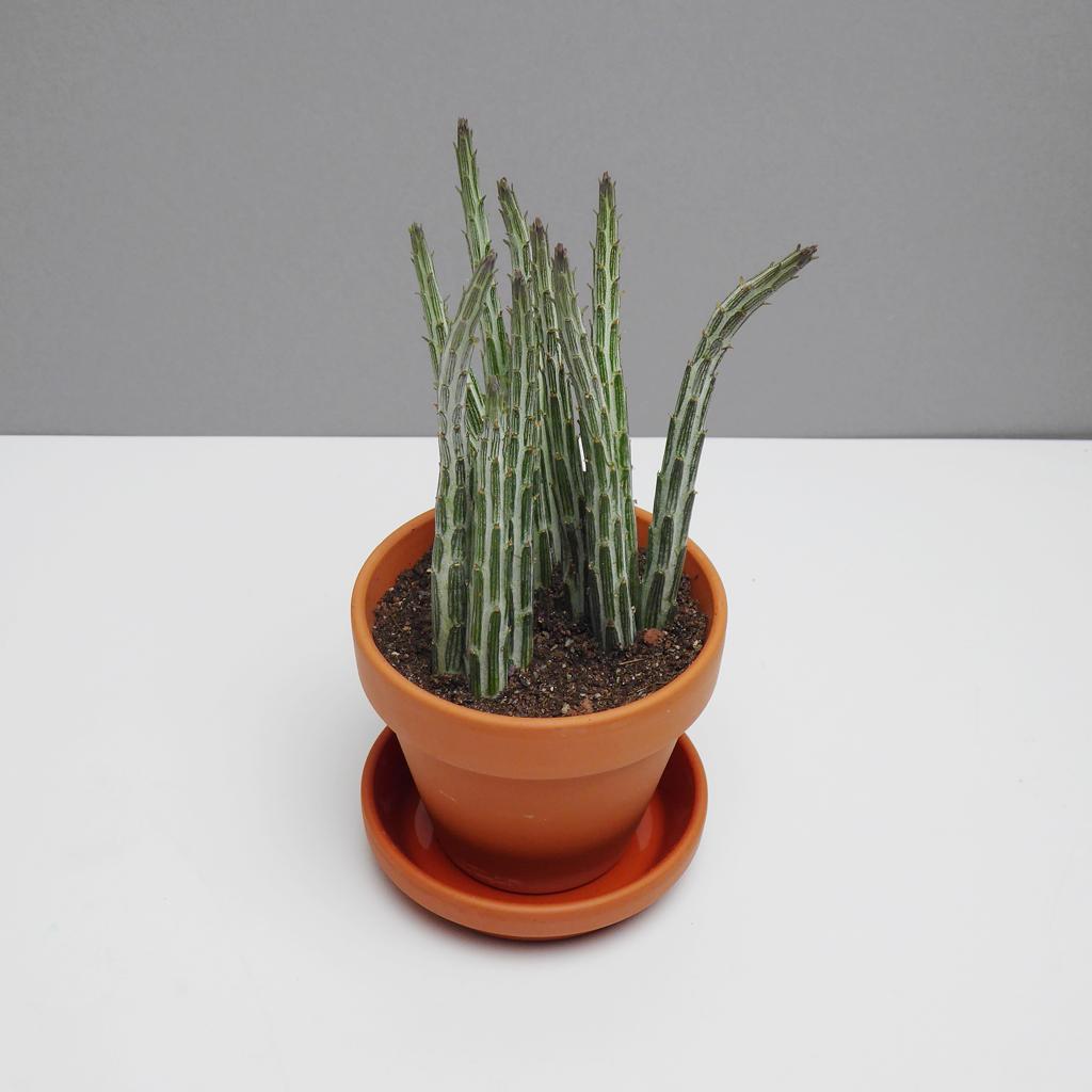 sukkulenten online kaufen the botanical room. Black Bedroom Furniture Sets. Home Design Ideas
