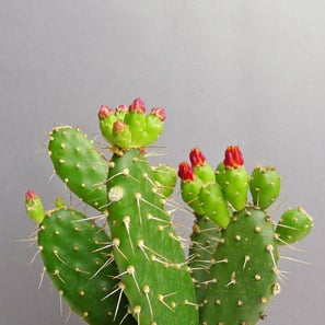 Opuntia quitensis | Prickly Pear Cactus, Red Buttons Opuntia | Artikelnummer: KS-Opuntiaquitensis