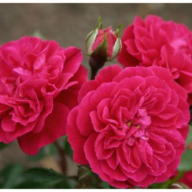 rosen kordes zwergrose pepita adr rose a qualit t premium rosen lilarot zwergrosen kaufen. Black Bedroom Furniture Sets. Home Design Ideas