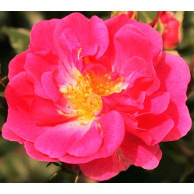 rosen kordes beetrose pink emely adr rose a qualit t premium rosen karminrosa beetrosen. Black Bedroom Furniture Sets. Home Design Ideas
