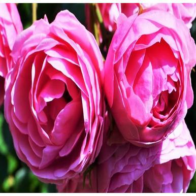 rosen kordes beetrose pomponella adr rose a qualit t premium rosen dunkelrosa beetrosen. Black Bedroom Furniture Sets. Home Design Ideas