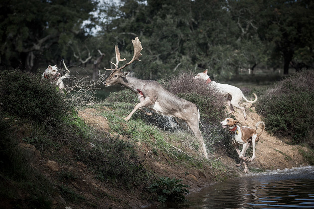 Hunting dogs in pursuit of a deer, 2014 | Edition 50, Serie